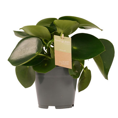 Peperomia Raindrop Feel Green