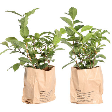 Thee plant (Camellia Sinensis)