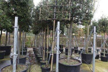 Quercus Ilex hoogstam 10/12 voorgeleid