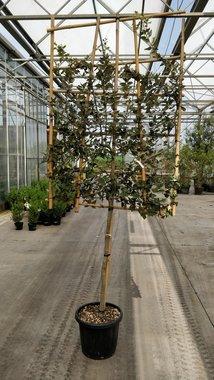 Quercus Ilex halfstam 10/12 voorgeleid