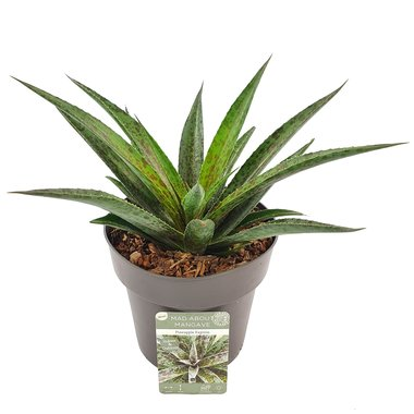 Mangave 'Pineapple Express' ®