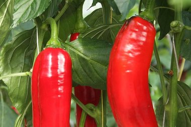 Zoetpuntpaprika 'Xaro' - Capsicum annuum - Bio groentezaden