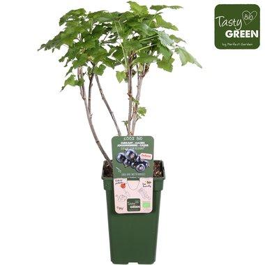 Ribes nigrum Noiroma - zwarte aalbes - Bio fruitplant