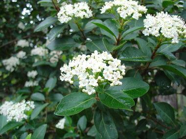 Viburnum Tinus 40-50 cm