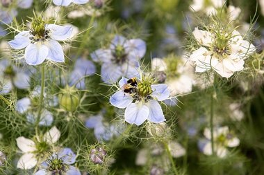 Juffertje-in-het-groen - Bio bloemenzaden