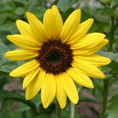 Gele zonnebloem 'Helianthus debilis' middelgroot - Bio bloemenzaden