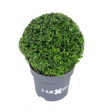 Ilex crenata Dark green® bolvorm 40/45 cm 'Japanse hulst'