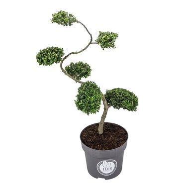 Ilex crenata Dark green® Bonsai/ S-vorm 80/100