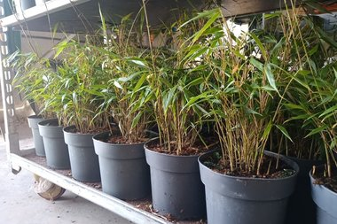 Fargesia 'Rufa' 30-40 (P19) - Bamboe - niet woekerend