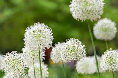Allium 'nigrum' - multibulbosum - sierui