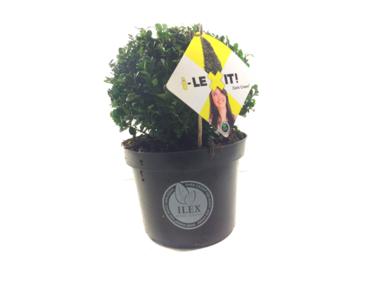 Ilex crenata Dark green® bolvorm 20/+ cm 'Japanse hulst'
