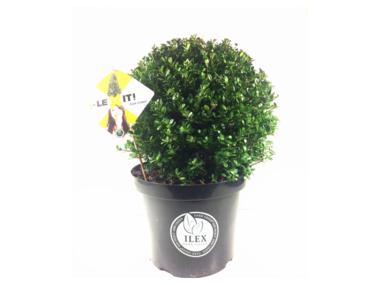 Ilex crenata Dark green® bolvorm 30/+ cm 'Japanse hulst'