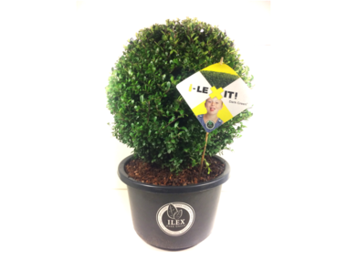 Ilex crenata Dark green® bolvorm 45/+ cm 'Japanse hulst'