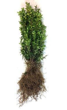 Buxus sempervirens 30-40 cm