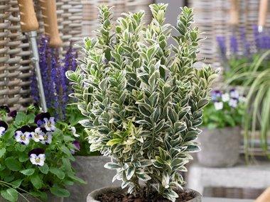 Euonymus 'white spire' 15+ cm