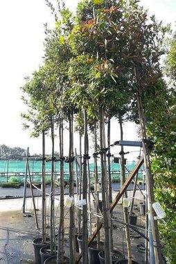 Quercus Ilex hoogstam 12/14