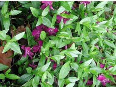 Vinca Minor atropurpurea 'kleine rode maagdenpalm'