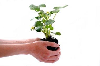 Biologische aardbeiplanten blote wortel