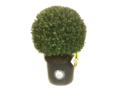 Ilex crenata Dark green® bolvorm 70/75 cm 'Japanse hulst'