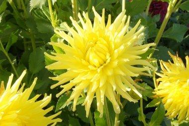 Dahlia Kennemerland - biologische bloembol