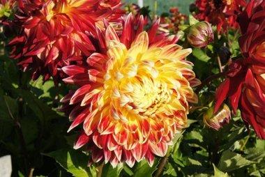 Dahlia Manhattan Island - biologische bloembol