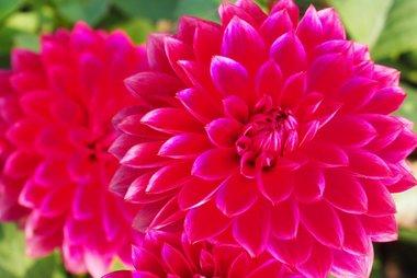 1 x Dahlia Menorca - biologische bloembol