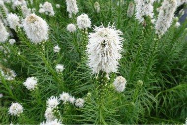 Liatris Floristan - wit - 7 stuks - biologische bloembollen
