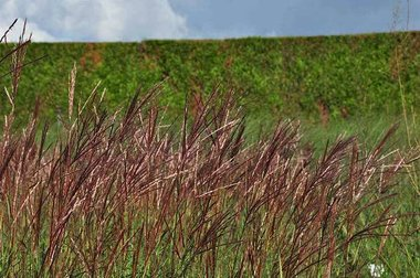 Miscanthus sinensis 'Red Chief' Prachtriet
