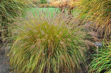 Pennisetum alopecuroides 'Hameln' - lampenpoetsersgras ( extra kwaliteit)