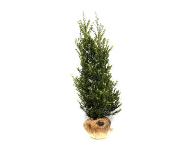 Ilex crenata Dark green® kluit 60-80 cm