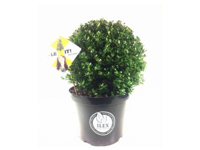 Ilex crenata Dark green® bolvorm 30/35 cm