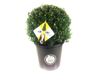 Ilex crenata Dark green® bolvorm 35/40 cm