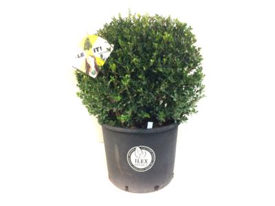 Ilex crenata Dark green® bolvorm +/- 50 cm 'Japanse hulst' - laatste 6 stuks!