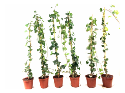 Hedera hibernica - ivy - with stick 100-125 cm