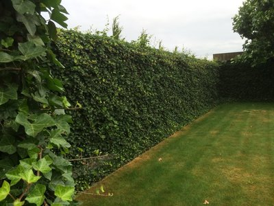 Hedera hibernica - ivy - with stick 125-150 cm