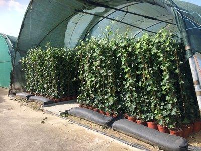 Hedera hibernica - ivy - with stick 175-200 cm