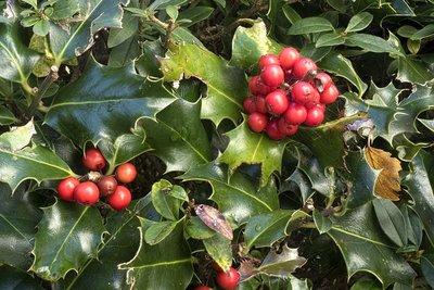 Ilex aquifolium (pot) 60-80 cm extra kwaliteit