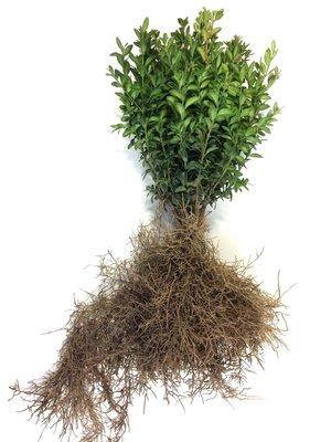 Buxus sempervirens 25-30 cm
