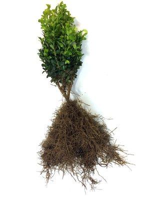 Buxus sempervirens 20-25 cm