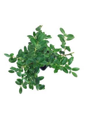 Ilex crenata green hedge 10/+ cm