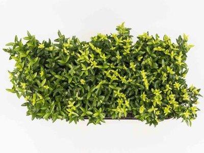 Euonymus 'green spire' 15-20 cm kardinaalshoed/muts