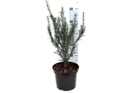 Taxus Baccata 50-60 cm