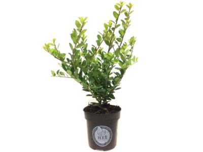 Ilex crenata Dark green® 10-15 cm Tijdelijk niet te reserveren