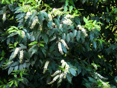 Prunus 'angustifolia'-portugese laurier 50-60 cm