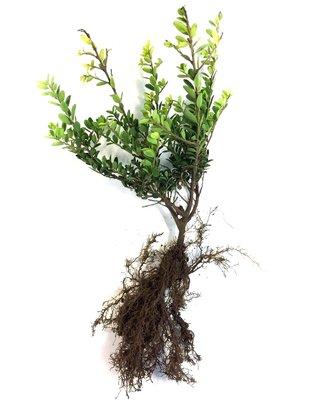 Ilex crenata green hedge blote wortel 30-40 cm