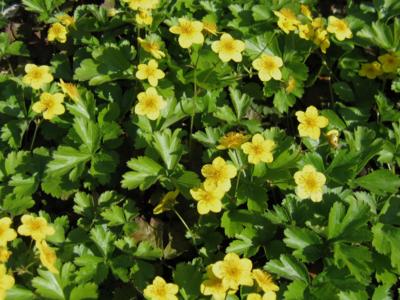 Waldsteinia ternata 'goudaarbei'