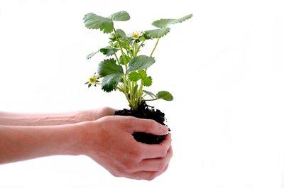 Biologische aardbeiplanten 'Rumba' blote wortel