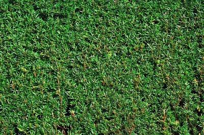 Taxus Baccata 40-50 cm