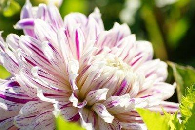 Dahlia Avignon - biologische bloembol