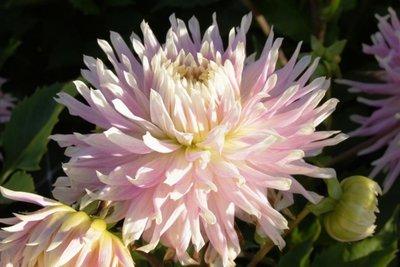 Dahlia Kiev - biologische bloembol